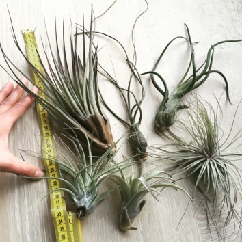 XL Tillandsia Mix